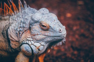 Iguana close-up by Nick Karvounis from stocksnap.io