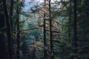 Thick, dark, coniferous forest