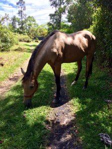 Horse grazing in a Big Island neighborhood