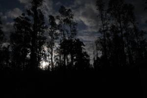 Dark ohia forest by Judy K. Walker
