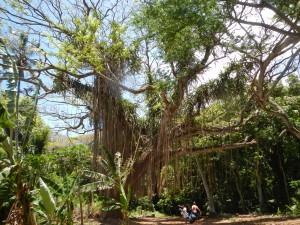 Trees at Honolua Bay, Maui