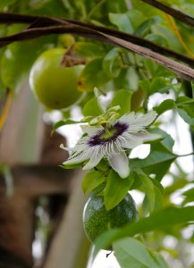 Close-up of lilikoi (passionfruit) flower, with adjacent green and yellow fruit