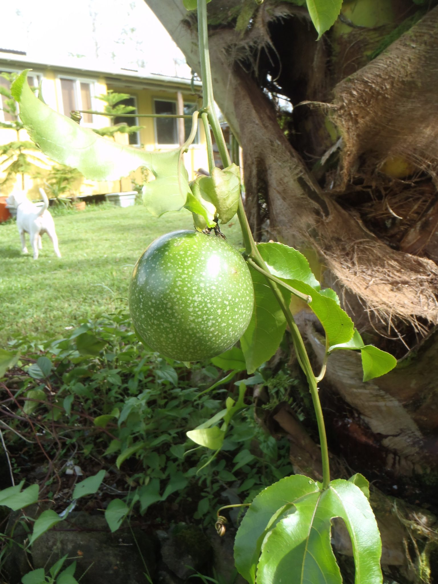 Lilikoi fruit (passionfruit) on vine hanging from palm tree, with house and dog in background