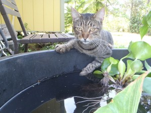 Ninja Kitty drinking from our soon-to-be fish home