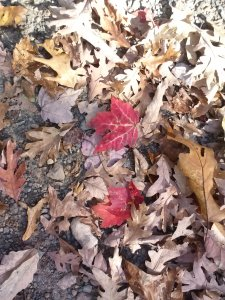 Red maple leaves on the ground
