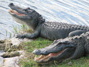 Two alligators with open mouths from nps.gov