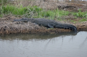 """Gator In The Marsh"" by Bill Perry from freedigitalphotos.net"