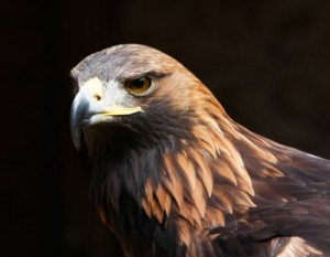"""Close Up Of Eagle"" by Tina Phillips from freedigitalphotos.net"
