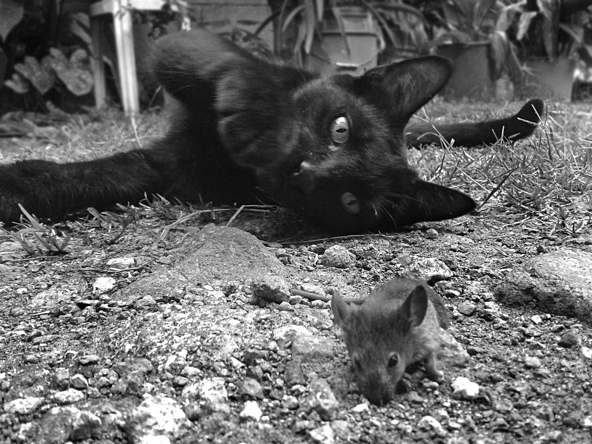 Black cat with rat by F Romero from stocksnap.io