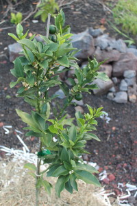 Newly planted kumquat tree with removed rocks in the background by Judy K. Walker