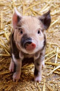 Cute piglet by Petr Kratochvil [Public domain], via Wikimedia Commons