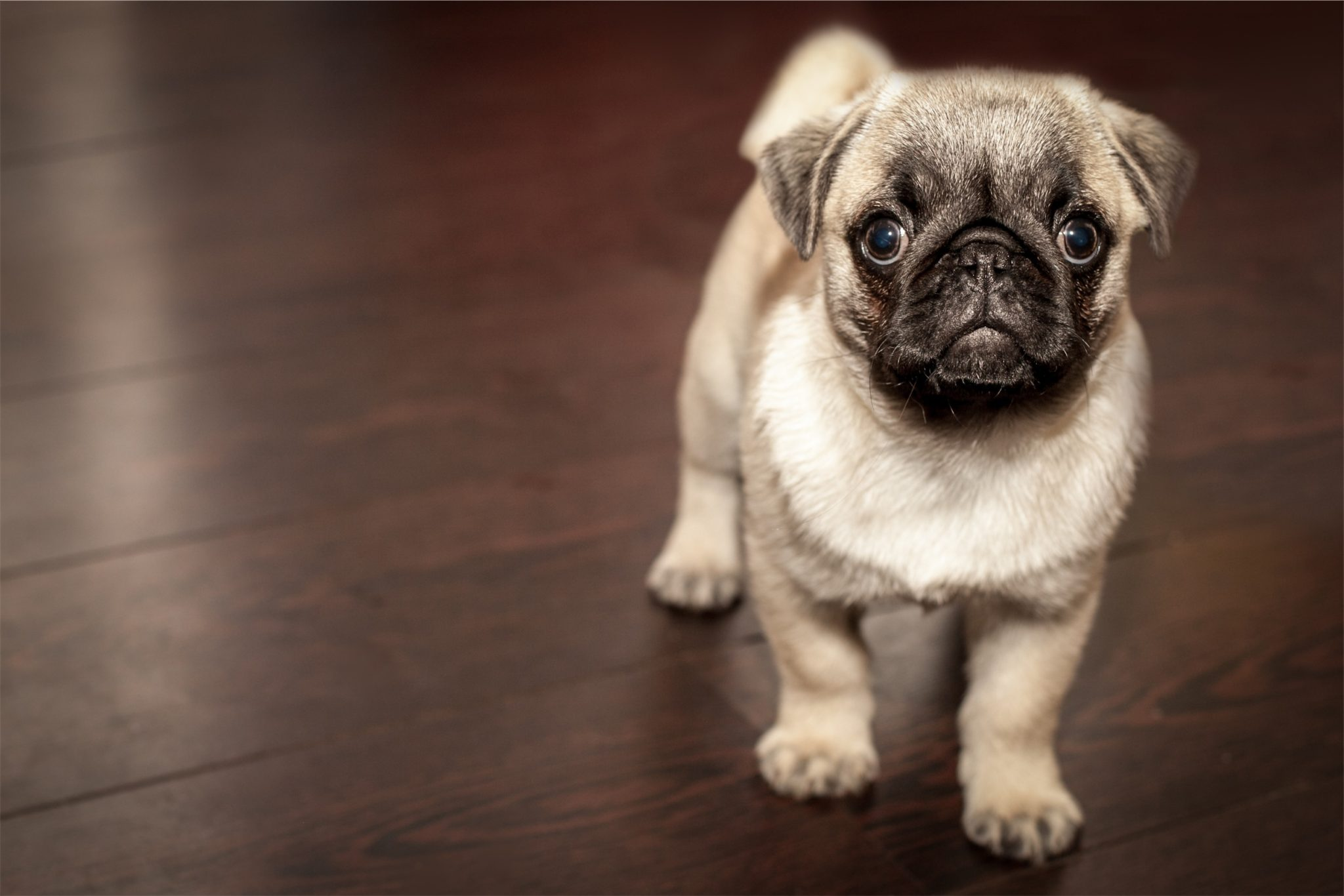 Standing pug dog by Matthew Szwedowski from stocksnap.io