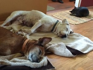 Travis and Fritz (the dogs) and Ninja (the cat) napping on a rainy day by Judy K. Walker
