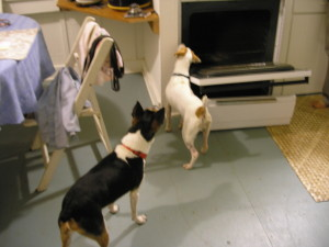 Terriers chasing a rat in a kitchen by Judy K. Walker
