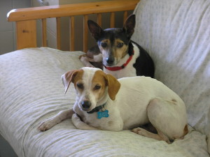 Two terriers resting on a futon by Judy K. Walker