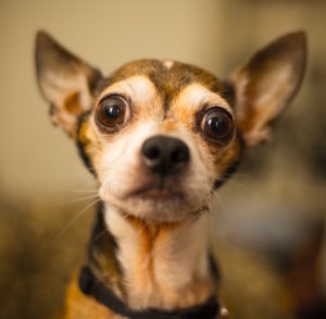 Cute small dog with big eyes by Ryan Pouncey from stocksnap.io