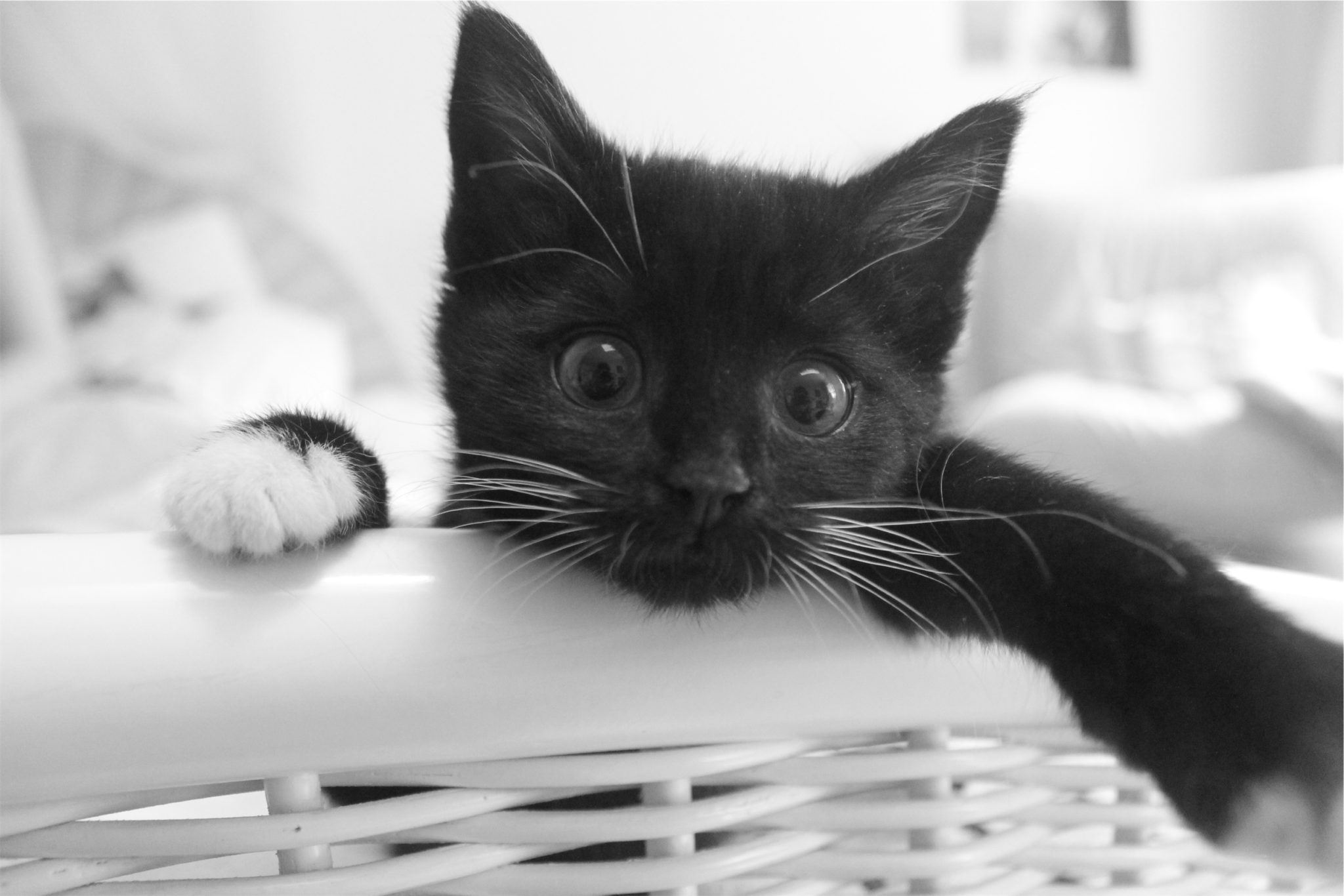 Black kitten in white basket by Maximilian Yachter from stocksnap.io