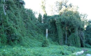 Kudzu on trees in Atlanta, Georgia, By Scott Ehardt (Own work) [Public domain], via Wikimedia Commons