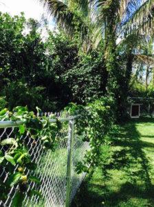 Lilikoi vine on fence by Judy K. Walker