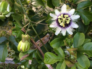 Lilikoi (passion) flower on fence by Judy K. Walker