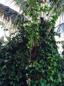 Lilikoi vine climbing palm by Judy K. Walker