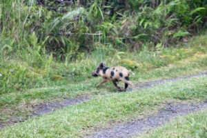 Feral piglet crossing our rural Hawaii driveway by Judy K. Walker