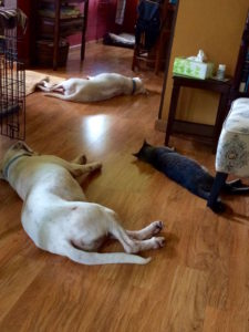 Cat and dogs napping in parallel inside by Judy K. Walker