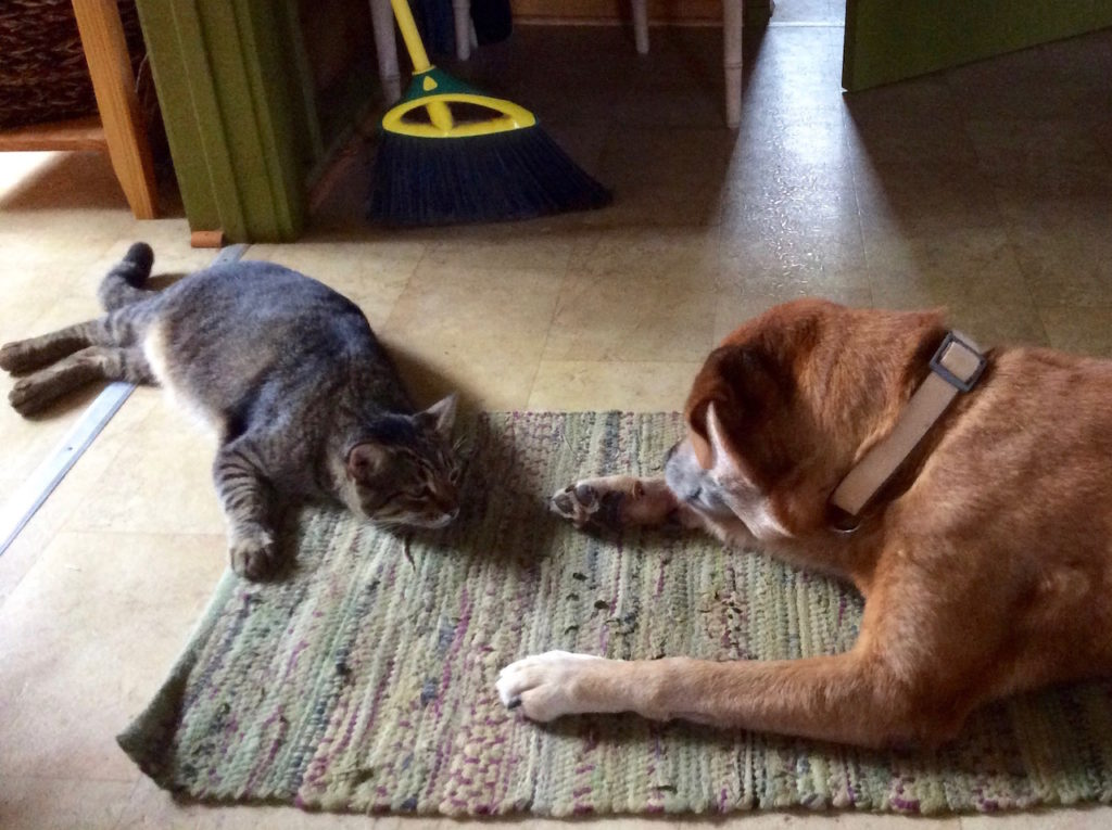 Ninja Kitty stares down an obliviously grooming Travis the dog