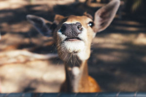 Close-up of Deer face by Jay Wennington from stocksnap.io