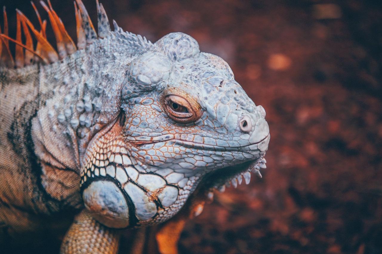 Iguana close-up by Nick Karvounis from stocksnap.io