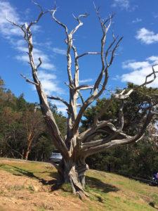 Tree on Fidalgo Island by Judy K. Walker