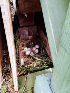 Chicken eggs laid under the edge of a house by Judy K. Walker