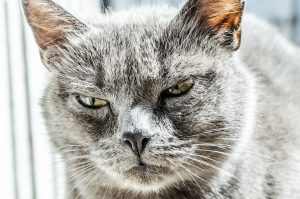 gray cat with an angry face