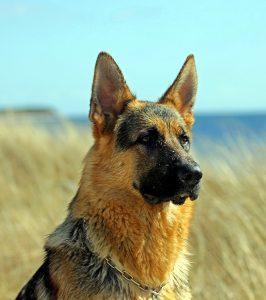 German shepherd with ears erect