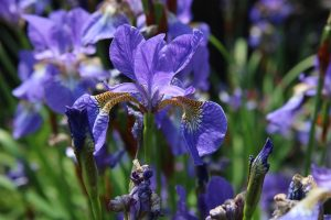 Purple irises in the sun