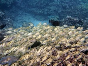 School of convict tang and other fish in Hanauma Bay, Oahu