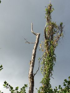 Dead ohia tree snapped off during high winds in East Hawaii January 2019